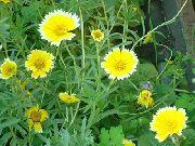 фото Лейя садовые декоративные цветы
