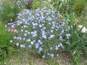 фото Лен однолетний садовые декоративные цветы