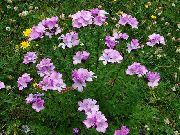 фото Лен многолетний садовые декоративные цветы