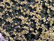 фото Лепидиум садовые декоративные цветы