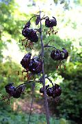черные Лилия мартагон цветы фото