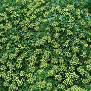 фото Азорелла садовые декоративные цветы