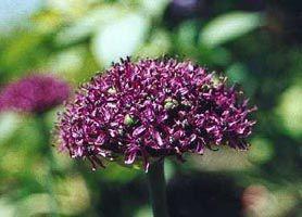 Allium atropurpureum Waldst. et Kit. Лук тёмно-пурпуровый.