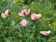 фото Мак восточный многолетний садовые декоративные цветы