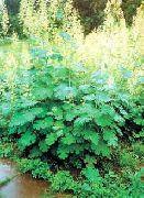 фото Маклея (Боккония) садовые декоративные цветы