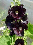 черные Мальва (Шток-роза, Алсея) цветы фото