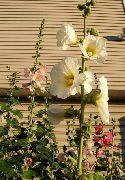 фото Мальва (Шток-роза, Алсея) садовые декоративные цветы