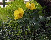 фото Меконопсис садовые декоративные цветы
