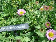 фото Мелколепестник (Эригерон)  красивый садовые декоративные цветы