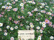 фото Мелколепестник (Эригерон) Карвинского садовые декоративные цветы
