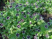 черные Немофила цветы фото