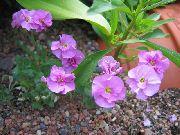 фото Обриета (Аубреция) садовые декоративные цветы