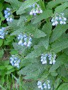 фото Окопник садовые декоративные цветы