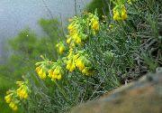 фото Оносма садовые декоративные цветы