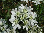 фото Орлайя садовые декоративные цветы
