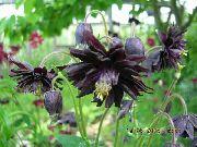 черные Аквилегия цветы фото