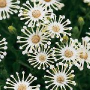 фото Остеоспермум (Капская маргаритка) садовые декоративные цветы