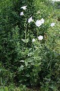 фото Островския садовые декоративные цветы