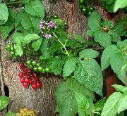 фото Паслен (Картофельная лоза, синий картофельный куст) садовые декоративные цветы