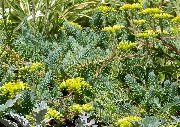 фото Очиток (Седум) садовые декоративные цветы