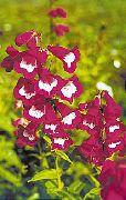 фото Пенстемон гибридный садовые декоративные цветы