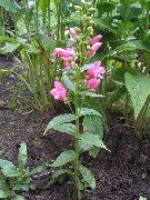 фото Пенстемон многолетний садовые декоративные цветы