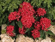 фото Пентас садовые декоративные цветы