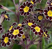 черные Примула цветы фото