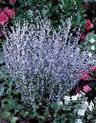 фото Перовския садовые декоративные цветы