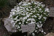 фото Песчанка (Аренария) садовые декоративные цветы