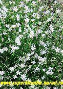 фото Петрорагия садовые декоративные цветы