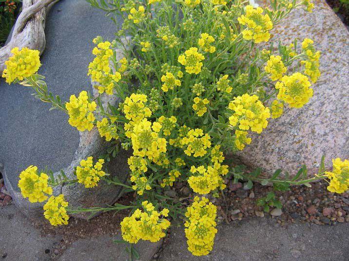 Цветы желтые алиссум фото