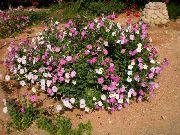фото Петунья садовые декоративные цветы