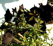 черные Петунья цветы фото