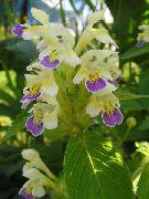 фото Пикульник красивый (Зябра) садовые декоративные цветы