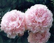 фото Пион садовые декоративные цветы