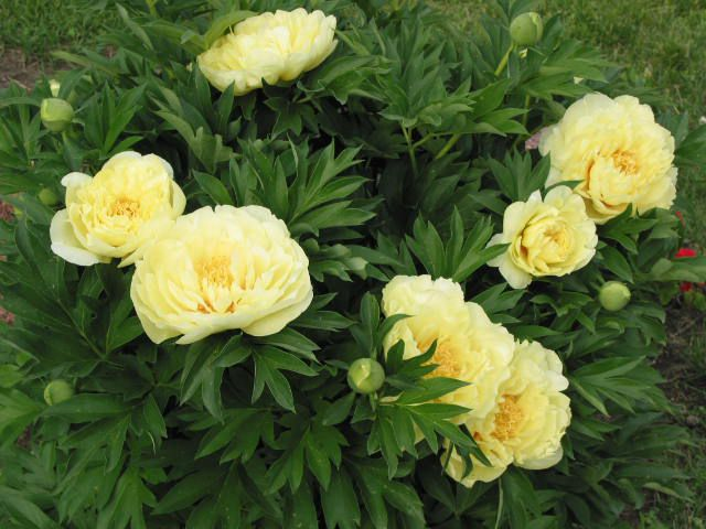 Цветы желтые пион фото