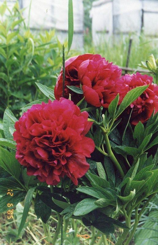 Декоративные садовые цветы пион