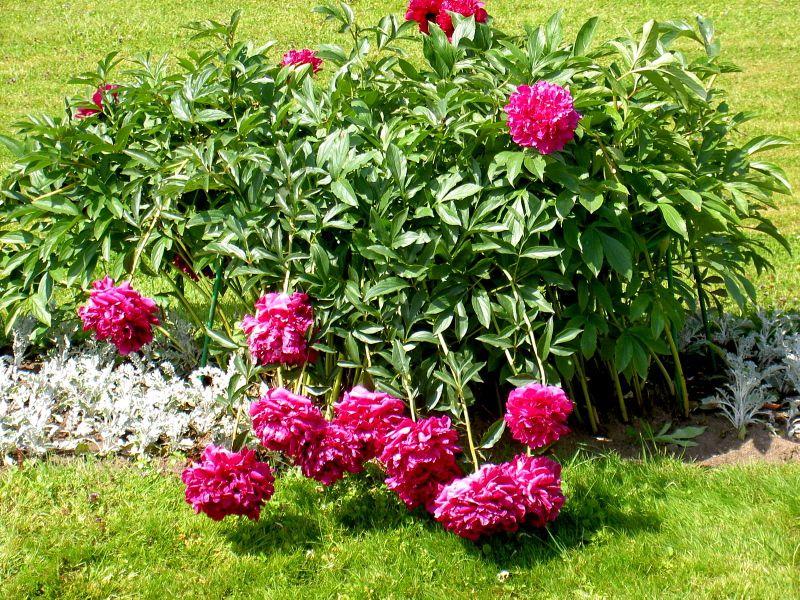 Цветы красные пион фото