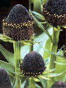 черные Рудбекия многолетняя цветы фото