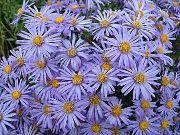 голубые Амеллюс цветы фото