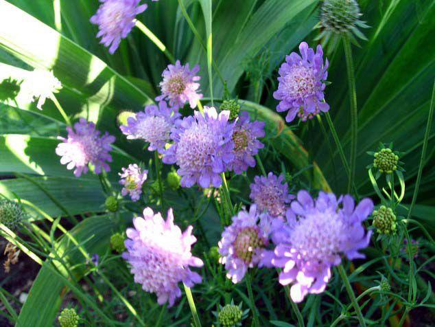 Цветы сиреневые скабиоза фото