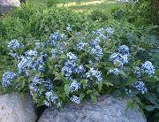 голубые Амсония цветы фото