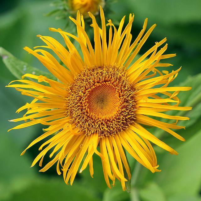 Цветы желтые телекия фото