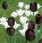 черные Тюльпан цветы фото