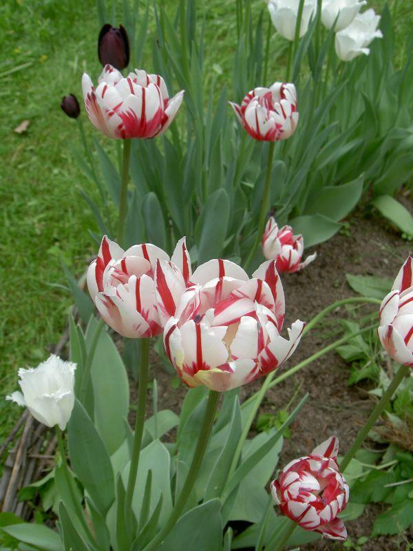 Тюльпан выращивание в саду 789