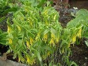 фото Увулярия садовые декоративные цветы