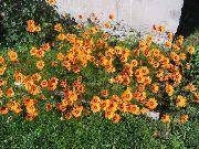 фото Урсиния садовые декоративные цветы