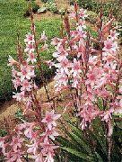 фото Утсония садовые декоративные цветы