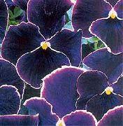 черные Фиалка Витрокка (Анютины глазки) цветы фото